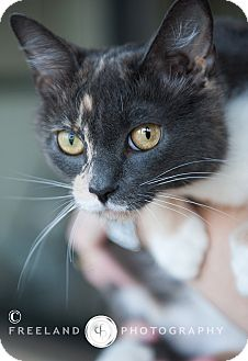 Domestic Shorthair Cat for adoption in Jackson, Michigan - Lillian