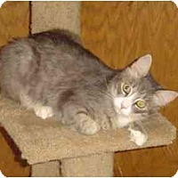Domestic Mediumhair Cat for adoption in Elk Grove, California - Hamlet
