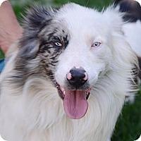 Adopt A Pet :: Aussi - Brattleboro, VT