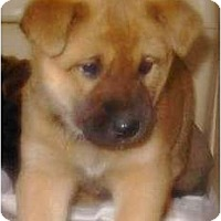 Adopt A Pet :: 3 more pups - Lucerne Valley, CA