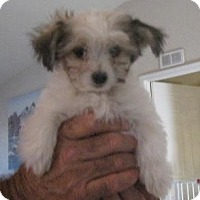 Adopt A Pet :: Mitzi - Golden Valley, AZ