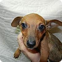 Adopt A Pet :: Pippi - South Jersey, NJ