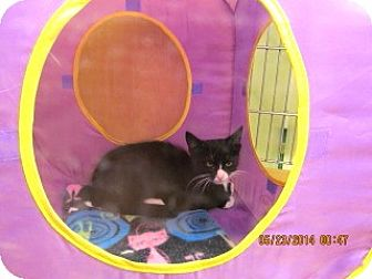 Domestic Mediumhair Kitten for adoption in Phoenix, Arizona - Doodle