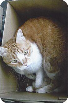 Domestic Shorthair Cat for adoption in St. Paul, Minnesota - Rajah