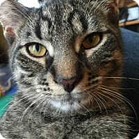 Domestic Shorthair Cat for adoption in Grand Blanc, Michigan - Gus