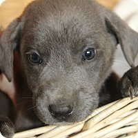 Adopt A Pet :: Simon - Waldorf, MD