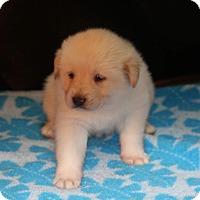 Adopt A Pet :: Yeti - Huntsville, AL