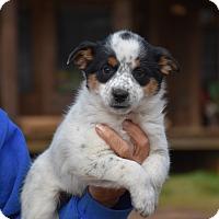 Adopt A Pet :: Polka - Charlemont, MA