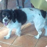 Adopt A Pet :: Coca - Rigaud, QC