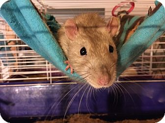 Rat for adoption in Rochester, New York - Otis