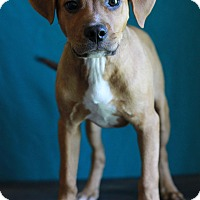 Adopt A Pet :: Patches - Waldorf, MD