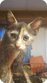 Domestic Shorthair Kitten for adoption in Hainesville, Illinois - Tortellini