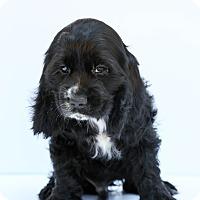 Adopt A Pet :: Benji - Loomis, CA