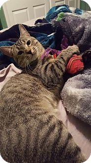 Domestic Shorthair Cat for adoption in Philadelphia, Pennsylvania - DJ