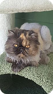 Persian Cat for adoption in Columbus, Ohio - Sugar