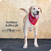 Labrador Retriever Dog for adoption in Conroe, Texas - ACHILLES