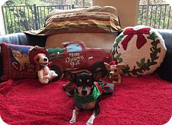 Dachshund/Miniature Pinscher Mix Dog for adoption in North Richland Hills, Texas - Saige