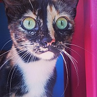 Calico Cat for adoption in Ocala, Florida - CALI