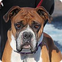 Adopt A Pet :: Cheddar - Denver, CO
