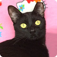 Domestic Shorthair Cat for adoption in Colorado Springs, Colorado - Sky