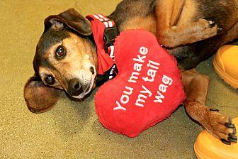 Beagle/Dachshund Mix Dog for adoption in South El Monte, California - BG