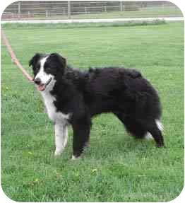 Border Collie Dog for adoption in Tiffin, Ohio - Maddie