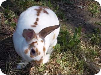 Mini Rex for adoption in Santee, California - Spice