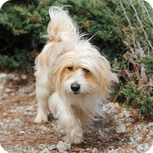 Terrier (Unknown Type, Small)/Lhasa Apso Mix Dog for adoption in Athens, Georgia - Harry Pawter