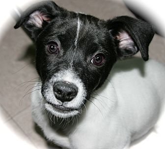 Daffy | Adopted Puppy | A037112 | Lufkin, TX | Rat Terrier ...