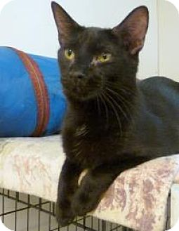 Domestic Shorthair Cat for adoption in Westville, Indiana - Riley