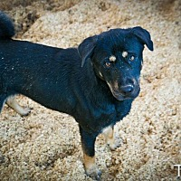 German Shepherd Dog/Labrador Retriever Mix Dog for adoption in Jackson, Mississippi - Teddy