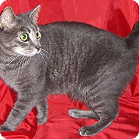 American Bobtail Cat for adoption in Liberty, North Carolina - Star