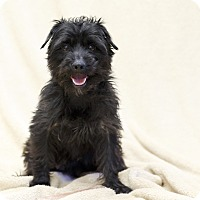 Adopt A Pet :: POOCHI - Ile-Perrot, QC