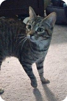 Domestic Shorthair Cat for adoption in Schertz, Texas - Chance WK