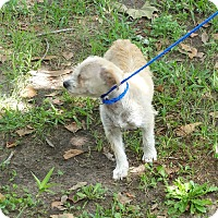 Wheaten Terrier Mix Dog for adoption in Houston, Texas - MISS AMERICA
