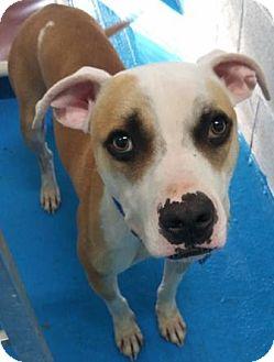 Labrador Retriever Mix Dog for adoption in Oberlin, Ohio - Jaxson