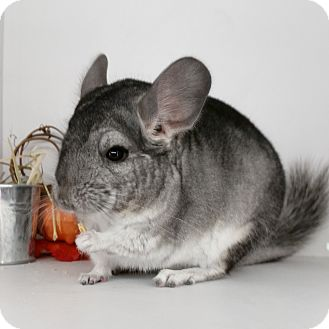 Chinchilla for adoption in AUGUSTA, Maine - Snickers