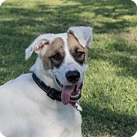 Anatolian Shepherd/Great Pyrenees Mix Dog for adoption in Little, Rock, Arkansas - TEXAS, HOUSTON; 'BANDIT'