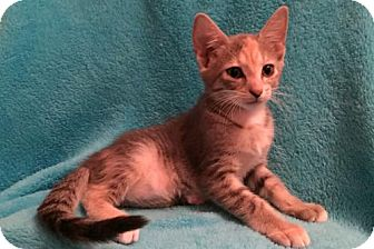 Domestic Shorthair Kitten for adoption in Grove City, Ohio - Liberty