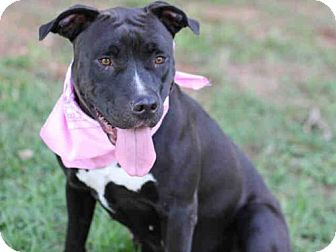 American Staffordshire Terrier Mix Dog for adoption in Tallahassee, Florida - ALLIE