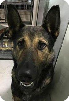 German Shepherd Dog Dog for adoption in Kansas City, Missouri - Emmit