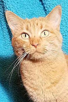 Domestic Shorthair Cat for adoption in Colfax, Iowa - Piper