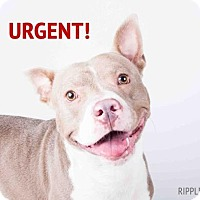 American Pit Bull Terrier Mix Dog for adoption in Decatur, Georgia - Ripple- chipped