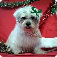 Lhasa Apso Mix Dog for adoption in Spartanburg, South Carolina - Cathy Rose