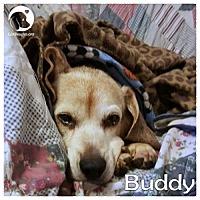 Adopt A Pet :: Buddy - Novi, MI