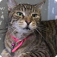 Adopt A Pet :: Pom-Pom - Bradenton, FL