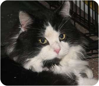 Domestic Mediumhair Cat for adoption in Fairbury, Nebraska - Oxfur