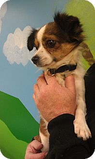 Chihuahua/Papillon Mix Dog for adoption in New Windsor, New York - Mark