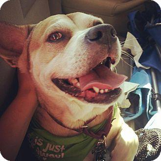 Australian Shepherd Mix Dog for adoption in Austin, Texas - Sunny
