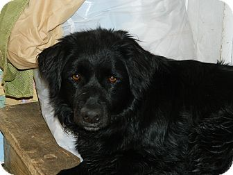 Flat-Coated Retriever Mix Puppy for adoption in Nanuet, New York - Bailey
